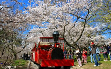 Cherry-Blossoms-and-the-Crowd-4
