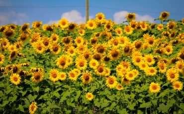 Sunflower Farm in Innisfil Ontario 18