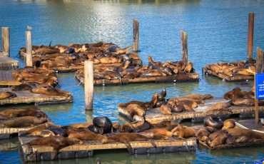 Sea lions Fisherman's Wharf San Francisco 14