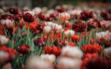 Tulips Festival 2015 Ottawa 20