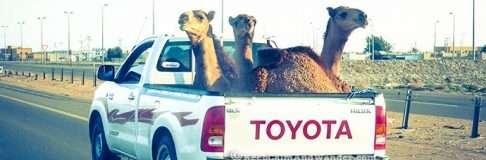Camel on Toyota 4