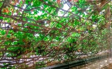 Largest Vine in the World Hampton Court London 1