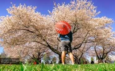 Cherry Blossoms Queen Elizabeth Park Vancouver 3
